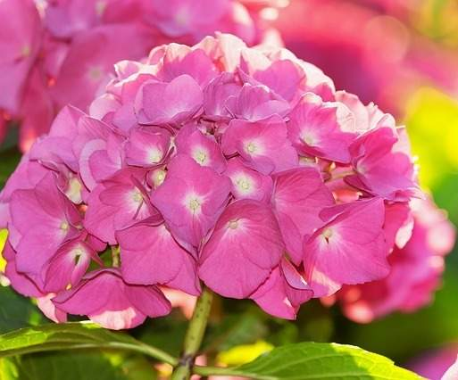Flower marketer hydrangeas